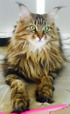 Sasha - my beautiful Maine Coon! 💜