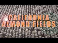 California Almond Fields - YouTube