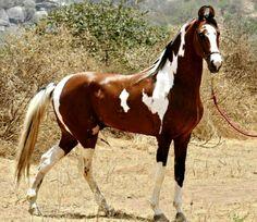 Marwari stallion, Ajgar. photo: Manu Sharma.