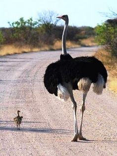 Mom and Ostrich chick out for a stroll