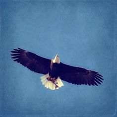 Rustic Bald Eagel Photograph - Bird blue sky white black nature - 5x5