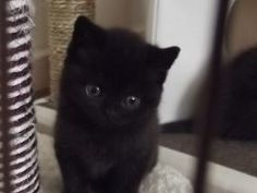 British Shorthair 1 Black girl left | Manchester, Greater Manchester | Pets4Homes