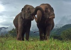 Watching the herd just make our weekend full of smile and happy^^ - Elephant Nature Park Newborn Elephant, Happy Elephant, Elephant Love, Elephants Never Forget, Save The Elephants, Large Animals, Baby Animals, Cute Animals, Beautiful Creatures