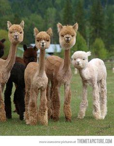 Shaved Alpacas…