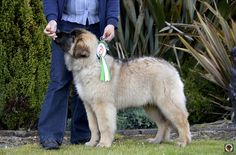 our sully first day showing 4 months , got 4 best puppy in show Best Puppies, Sully, 4 Months, Big Day, Leo, Dogs, Animals, Animaux, Doggies