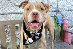 KING MASON -A1095553 - - Manhattan  Please Share:TO BE DESTROYED 11/12/16  A volunteer writes: I'm not sure if I'm supposed to know who or what King Mason is (I don't), but I was prepared to meet royalty and I wasn't disappointed! He's quite the gorgeous hunk in his tan brindle coat and perfect physique and I found myself standing taller and straightening my clothes to be worthy of my royal companion. Not surprising for royalty he seems to be h