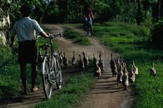 Indonesian man walking bicycle along the road with a flock of ducks in Ubud, Bali. My backyard!