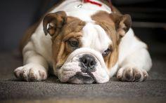 Télécharger fonds d'écran L'anglais de bouledogue, drôles d'animaux, les bouledogues, les chiens
