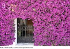 House façade covered by bougainvilleas, Fuengirola. Costa del Sol, Málaga province. Andalusia, Spain
