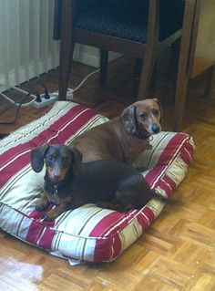 ADOPTED! This pair is the whole package, the real deal! Cute, loving and all doxie they are looking for their furever home... maybe with you?