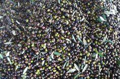 """frisch geerntete Oliven, bereit, zu """"extra vergine""""-Öl gepresst zu werden"""
