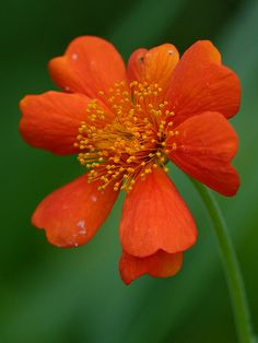 Geum 'Queen of Orange'