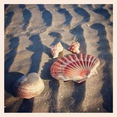 sand furrows and shells (& one of my favorite shells- the flat scallop! Lucky beach comber that finds this Shell Beach, Ocean Beach, Sand Beach, Beach Bum, Shells And Sand, Sea Shells, I Love The Beach, Am Meer, Ocean Life
