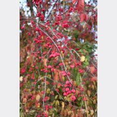 Euonymus atropurpureus | Possibility Place Nursery Burning Bush, Great Names, Clay Soil, Nursery, Outdoor Structures, Plants, Porch, Color, House