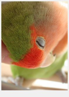 rosy-faced lovebird (romantic and secondary energy)