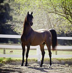 Monaco Jullyen V (Jullyen El Jamaal x Misti Morn V) 2010 bay stallion bred by Varian Arabians