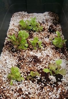 Find out how to set up your very own vermiponic wicking bed Organic Hydroponics, Hydroponics System, Hydroponic Growing, Growing Plants, Grow Tower, Wicking Beds, Compost Tea, Aquaponics Fish, Worm Farm