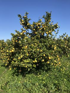 Παραγωγή λεμόνια!!! Fruit, The Fruit