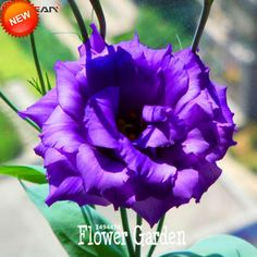 [Visit to Buy] Hot Sale!Purple Eustoma Seeds Perennial Flowering Plants Lisianthus for DIY Home Garden,100 PCS/Bag,#0JOI30 #Advertisement
