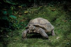 [#HD Wallpaper] #Turtle Common snapping turtle, #SnappingTurtles #Tortoise #Emydidae Ecosystem, Fauna, Wildlife  - Photo by Luca Ambrosi @lucambro (unsplash)  - Follow #extremegentleman for more pics like this!