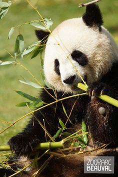 Le #panda géant consomme le bambou différemment selon les saisons : c'est en hiver qu'il s'adonne principalement au décorticage du bambou, dont il savoure les tiges les plus rigides.