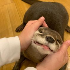 im so happy hooman! Cute Creatures, Beautiful Creatures, Animals Beautiful, Otters Cute, Baby Otters, Cute Little Animals, Cute Funny Animals, Fluffy Animals, Animals And Pets