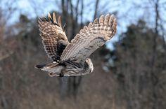 Flying GG Owl