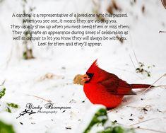 Cardinal, Red Bird, Cindy Thompson Photography