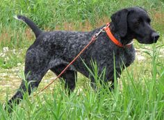 German Shorthaired Pointer puppy for sale near Battle ...  |Black Ticked German Shorthaired Pointer Puppies