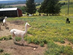 Serenity Farms is a local Alpaca farm, open for tours year-round ~ Mr. Timothy Auch, Owner in Raywick, Kentucky