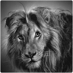 realistic-pencil-drawings-of-animals-13