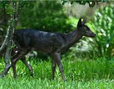 """Rare Sighting of a Black White-tailed Deer Fawn [9 Pictures]  March 14, 2012 at 6:00pm 