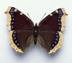 Camberwell Beauty (Nymphalis antiopa) Butterfly
