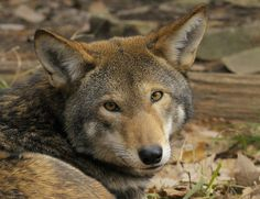 Save the endangered Red Wolf! They are mistaken for coyotes and killed! If we don't do something, the population of 109 Red wolves will plummet and quickly become Wolf Pictures, Animal Pictures, Beautiful Creatures, Animals Beautiful, Of Wolf And Man, Baby Animals, Cute Animals, Wild Animals, Wolf Population