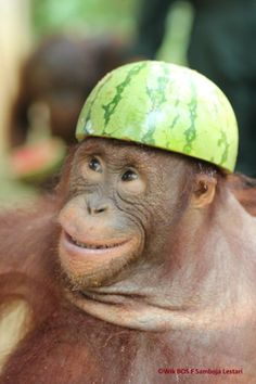 Silly Baby Orangutan think's he's an Army Cadet now - Orangutan - Babycan Cute Funny Animals, Funny Animal Pictures, Cute Baby Animals, Animals And Pets, Borneo Orangutan, Baby Orangutan, Primates, Cute Monkey, Baboon