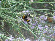 aantrekkelijk voor bijen