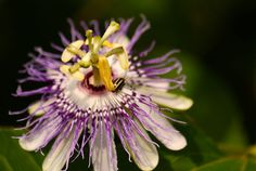 Passionflower Vine: From Seed to Fruit & Back Again/ Blog Castanea
