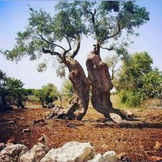 """Apostolia ༄ στο Instagram: """"When the trees are teaching us what Love is! An eternal dance of grace. Ancient olive trees kissing and dancing with each other. Crete.…"""" Olive Tree, The Shining, Crete, What Is Love, Tree Of Life, Kissing, Giraffe, Dancing, Teaching"""