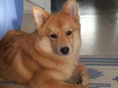 A man told me my dog Nala looks just like a Finnish Spitz and was he ever RIGHT.