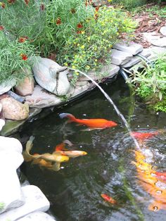 Nothing better in your backyard than a goldfish pond.. just make sure you protect them from racoons!
