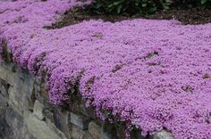 Creeping thyme is a very short flowering ground cover. It looks especially good spilling over a stone wall, as in this picture. Learn more at http://landscaping.about.com/od/herbplants/p/creeping_thyme.htm                                                                                                                                                      More