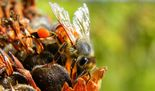 In New Jersey, researchers have documented more than 300 different species of bees