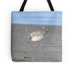 Hooded Plover chick eating by BirdBags Small & Large