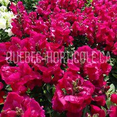 Antirrhinum, Planting Flowers, Plants, Photos, Gardens, Edible Flowers, Annual Plants, Bicycle Kick, Index Cards