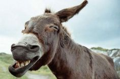 The laughter of a Donkey Laughing Animals, Smiling Animals, Happy Animals, Farm Animals, Animals And Pets, Funny Animals, Cute Animals, Beautiful Creatures, Animals Beautiful