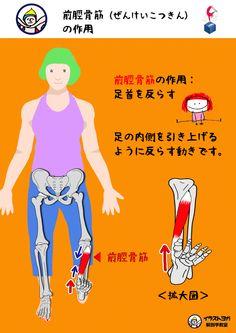 この筋肉の作用は、  【足首を反らす】  です。  この筋肉は足の内側についているので、土踏まずを引き上げるように反らす動きになります。