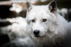 White wolf by pattoise, via Flickr