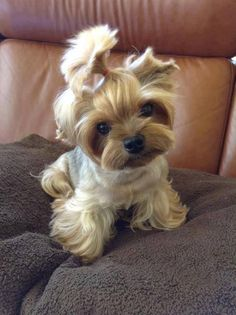 Teacup Yorkie-This is the type of dog I THOUGHT I wanted. Sometimes, I still wish I had a tiny one, but my Smokey is the best!