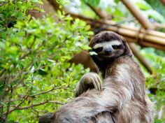 Funny pictures about Sassy sloth. Oh, and cool pics about Sassy sloth. Also, Sassy sloth photos. Primates, Mammals, Beautiful Creatures, Animals Beautiful, Pinterest Foto, Animal Pictures, Funny Pictures, Funny Animals, Cute Animals