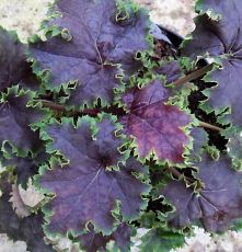 Heuchera 'Chocolate Limes' from the Chelsea Gold Medal winning nursery Plantagogo, which is also the holder of the National Collection for Heuchera, Heucherella and Tiarella Patio Plants, Outdoor Plants, Garden Plants, Outdoor Gardens, Coral Bells Plant, Coral Bells Heuchera, Purple Garden, Shade Garden, Tiered Garden